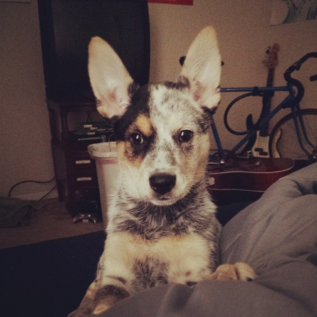 Your gonna fly away with those ears, girl. #dailypuppy #blueheeler –posted by explodingsnowhorse on Instagram