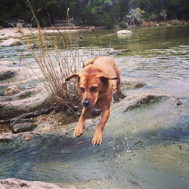 Leapin' Lucy #thenakeddog #austin #hiking #boarding #training #atx #dogsofaustin #dogsofinstagram–posted by thenakeddog on Instagram