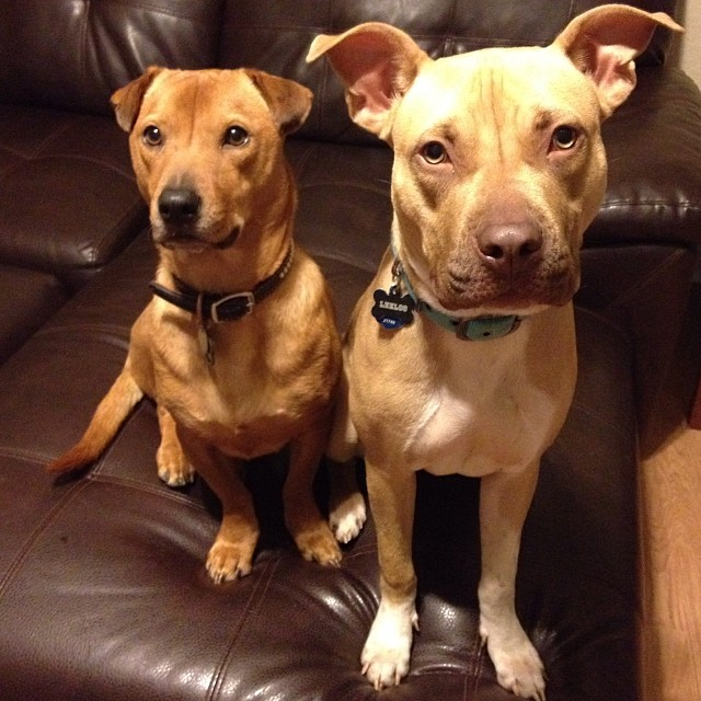 OMG. 😍 #link #leeloo #adoptme #austinpitbulls–posted by jillsmallman on Instagram