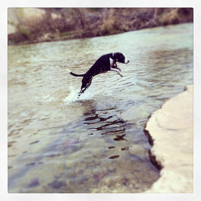Ziba jumping invisible fences #thenakeddog #austin #hiking #boarding #training #atx #dogsofaustin #dogsofinstagram–posted by thenakeddog on Instagram