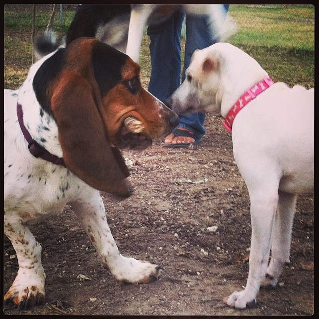 Dog park friends #bassethound –posted by karensinaustin on Instagram