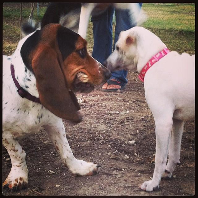 Dog park friends #bassethound –posted by karensinaustin on Instagram