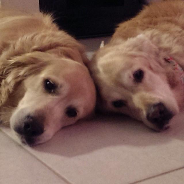 Twin sisters   #dogs #goldenretriever #doggiesholidayhome #dogboarding #dogvacay #dogaustin #austintx #austindog #dogsofinstagram–posted by audreydogs on Instagram