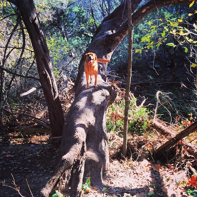 Tree climber #thenakeddog #atx #austin #dogsofaustin #hiking #training–posted by thenakeddog on Instagram