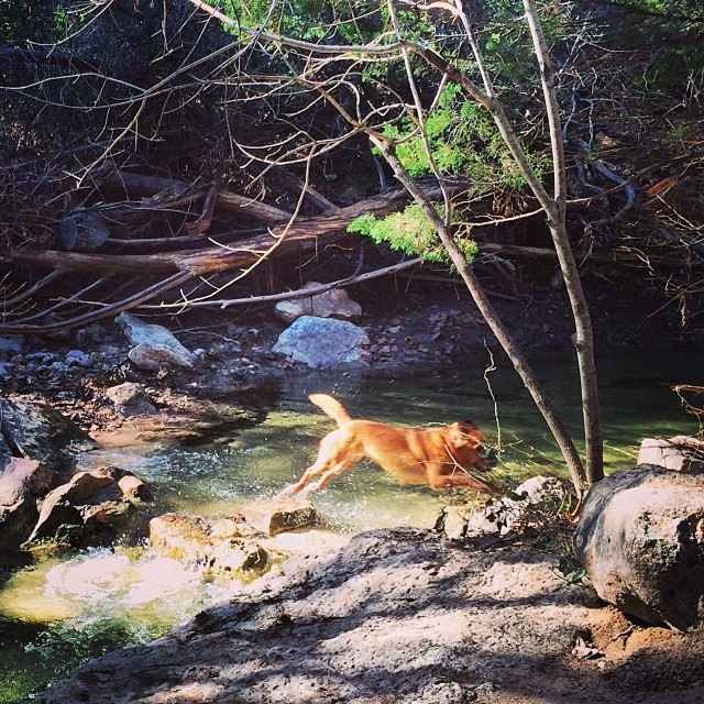 Lucy taking a leap at Turkey Creek #thenakeddog #atx #dogsofaustin #hiking #training–posted by thenakeddog on Instagram