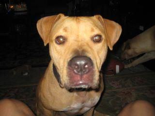 LOST DOG! Female brown pit bull. Last seen near Congress/Stassney. Microchipped, named Dixie, very sweet! Please share!!