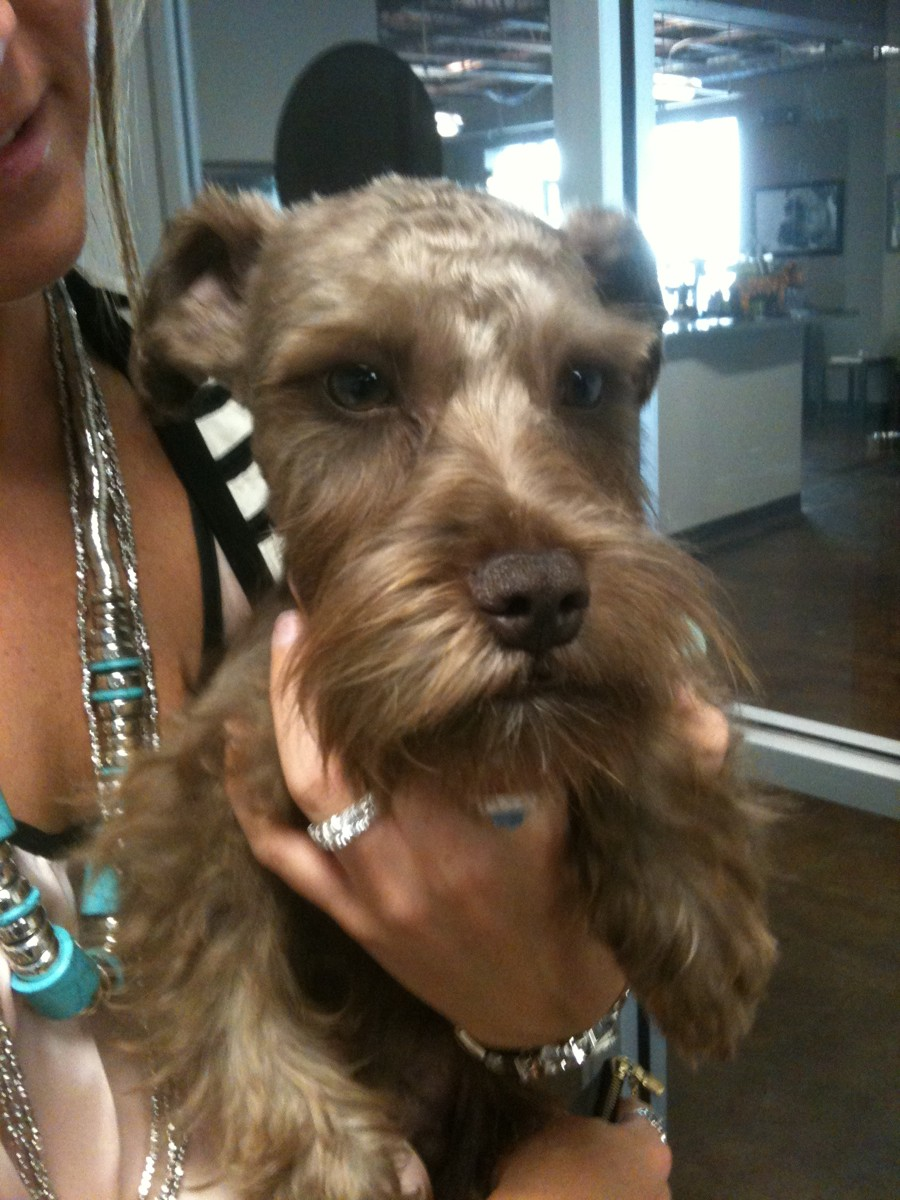 """Jade (groomer at downtown) gave Trip his first """"big boy"""" haircut today!"""