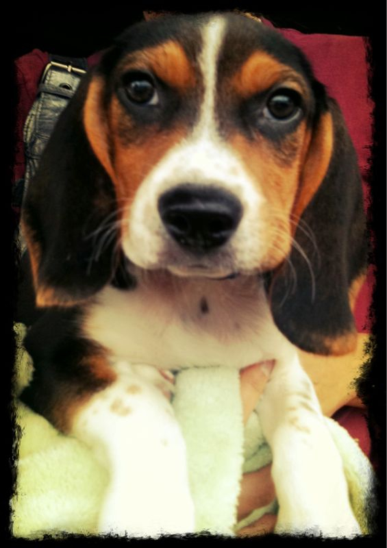 Diablo, aka Big Ears. 10 week old beagle. cc @ileenieweenie