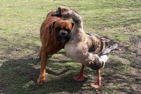 """Seeing-Eye-Goose Befriends Blind Dog""  'A blind Boxer named Baks has gotten a whole new lease on life thanks to a good samaritan goose named Buttons. Yes, you read that right. This is not a joke.  Baks has been taken under the 'wing' of Buttons, a four-year-old goose who now leads her vision-impaired pal around everywhere either by hanging onto him with her neck, or by honking to tell him which way to go. How hilarious is that?! Owner Renata Kursa of Lublin, Poland, was heartbroken when poor lil' Bak was left blind after an accident last year. But gradually Buttons got him up on his feet and starting walking him around. They're inseparable now - they even chase the postman together,' Kursa tells the Telegraph UK.  Go Buttons! What's good for the goose is also apparently good for…the…boxer.'  http://blogs.discovery.com/daily_treat/2011/04/seeing-eye-goose-befriends-blind-dog.html#mkcpgn=fbapl1"