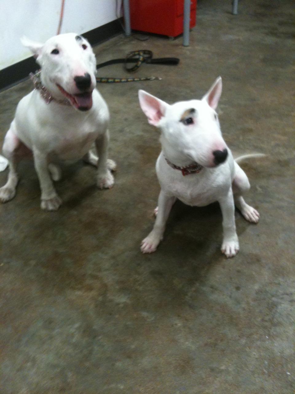 Lola (5 yrs) & Neeka (10 mo).Descendantsof Suds McKenzie….hee.