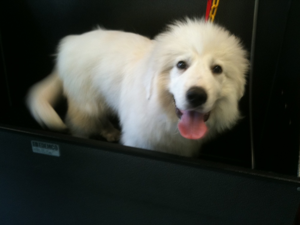 Sammy is a 15 week old Great Pyrenees!! So cute!!!!!