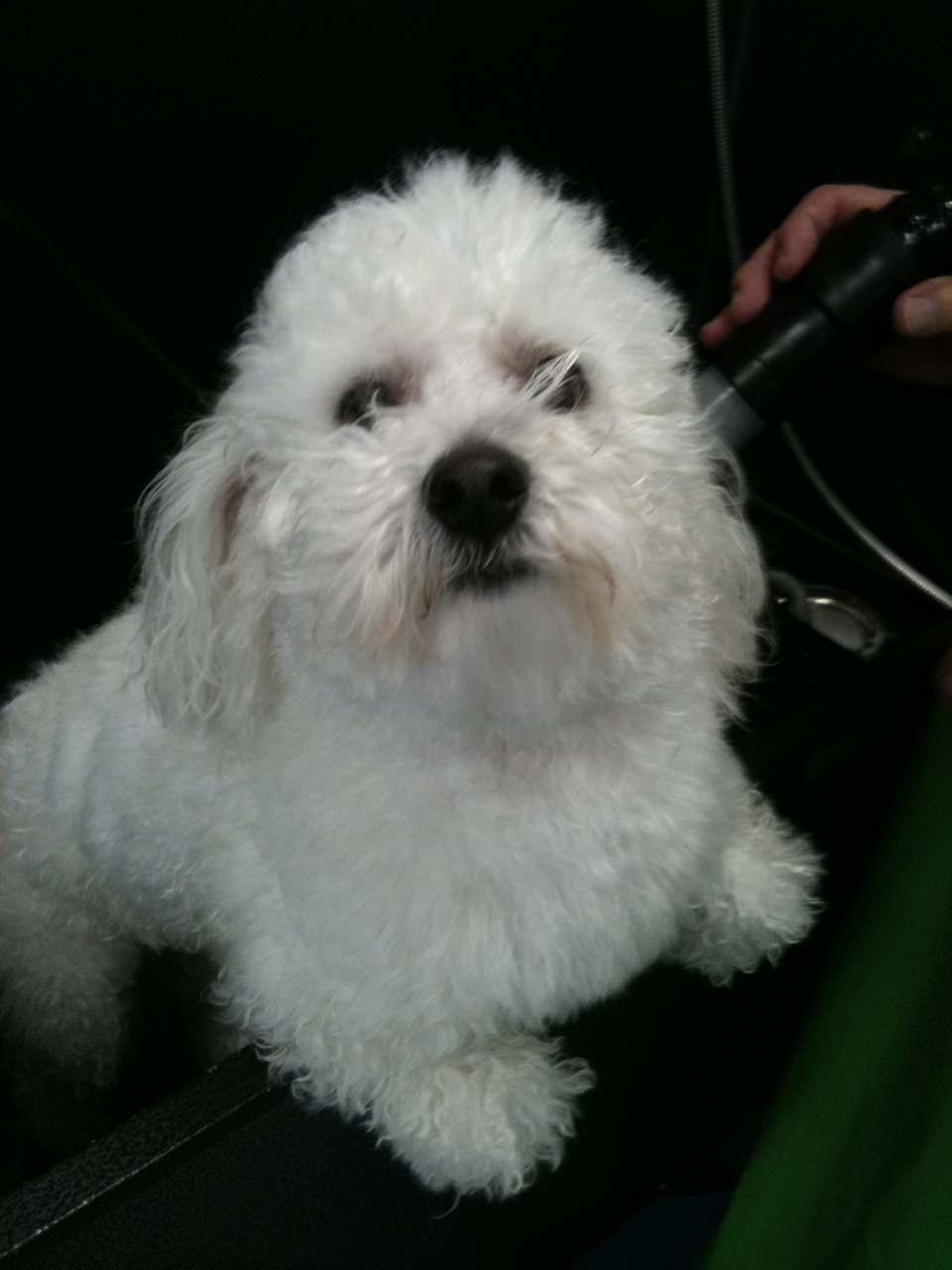 Jax, being the tough little Bichon that he is!!