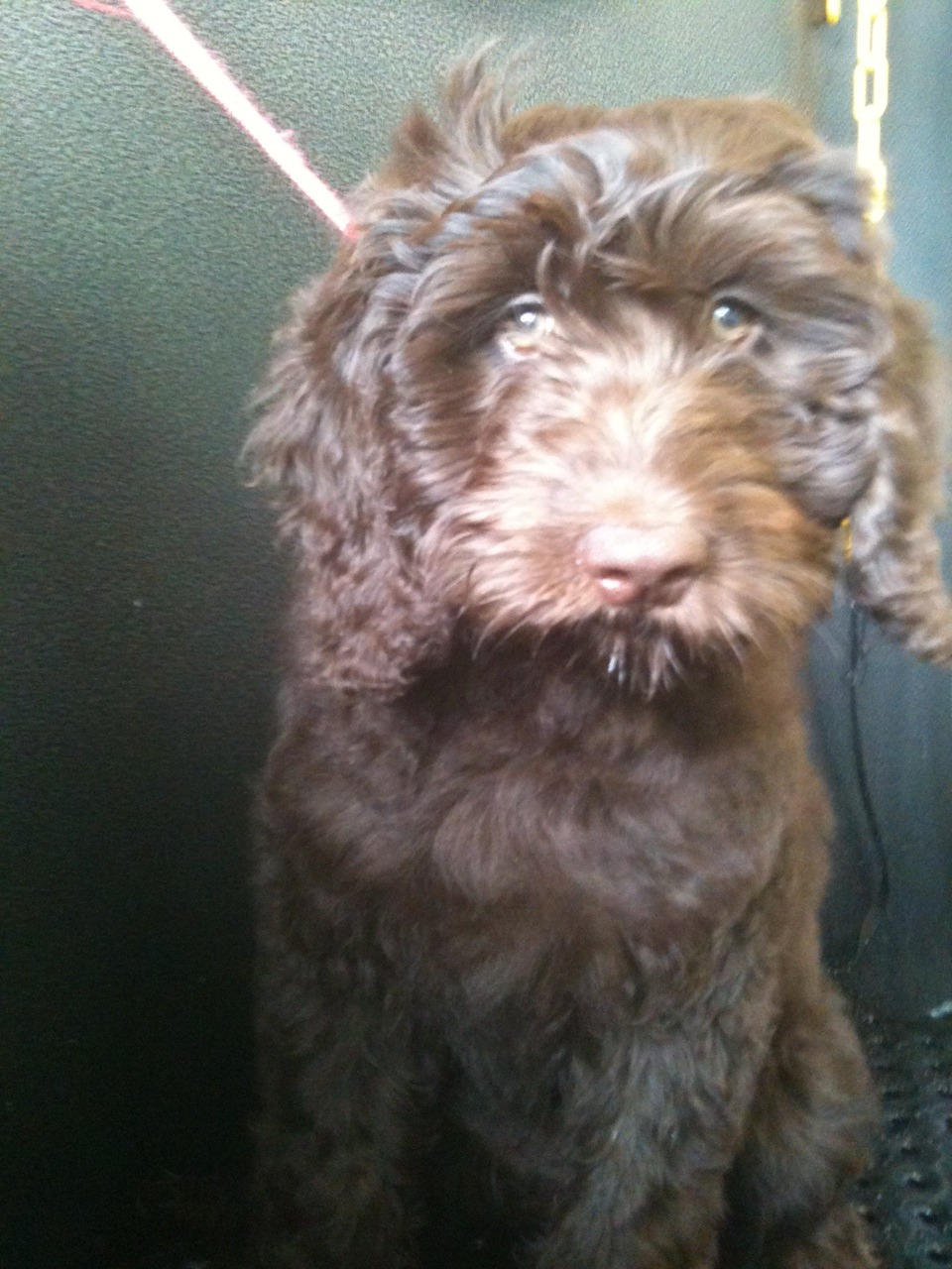 I got to meet Charlotte today! She's a 15 wk old chocolate Goldendoodle
