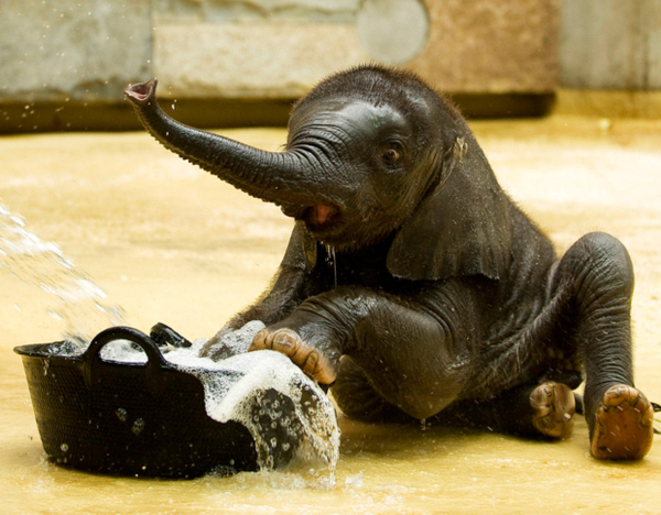 We've had pigs & a horse…but we've NEVER had a baby elephant! OMG! Look at his little foot! <3 aklaus: Oh my goddddd SO CUTE