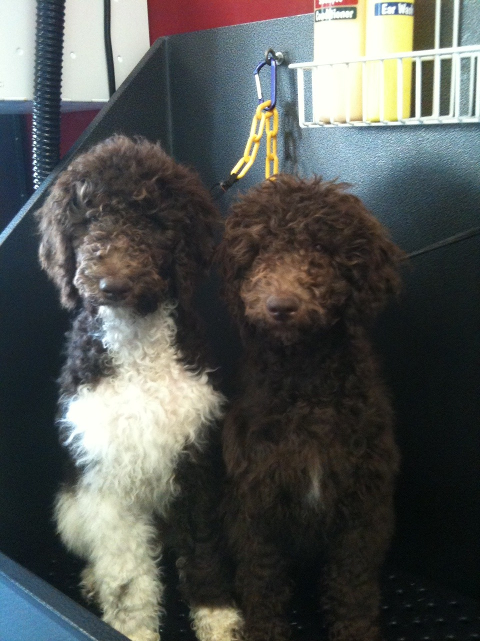 Your daily cute: siblings Sterling and CeCe, 4 month old standard poodles!