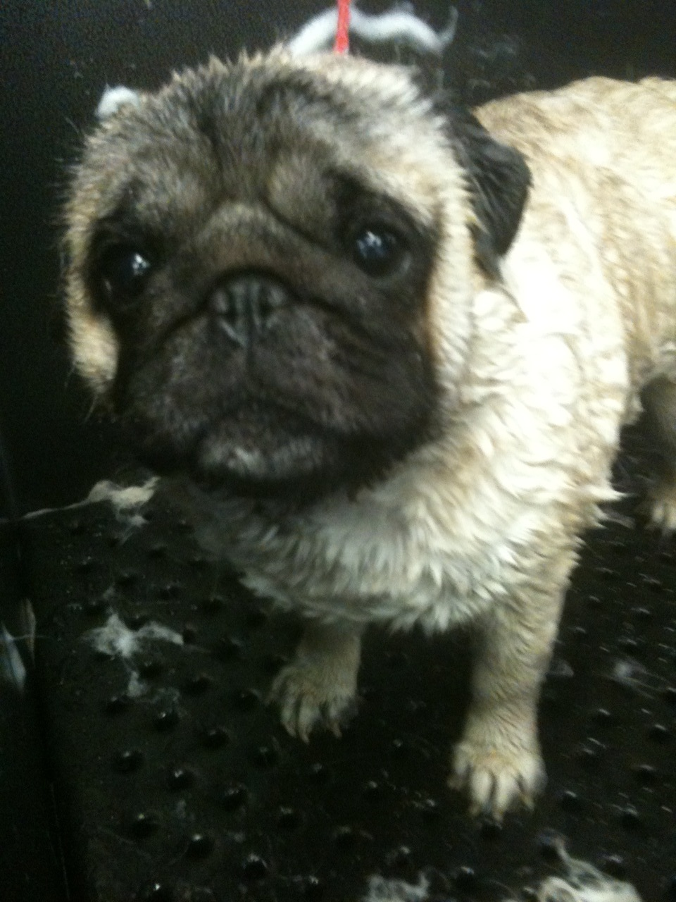 Mercury is a former show pug…so cute!!!!