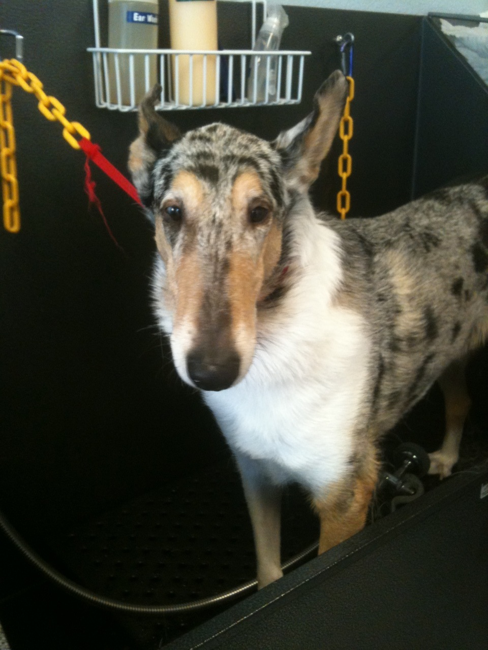 Stetson is from a LONG line of champions. He's a smooth coated collie and he's beautiful!