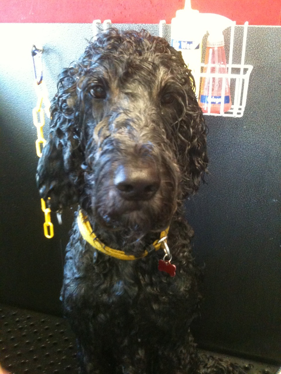 "Clayton was one of the most ""gentlemanly"" Goldendoodles I've ever met. Huge crush on this guy!"