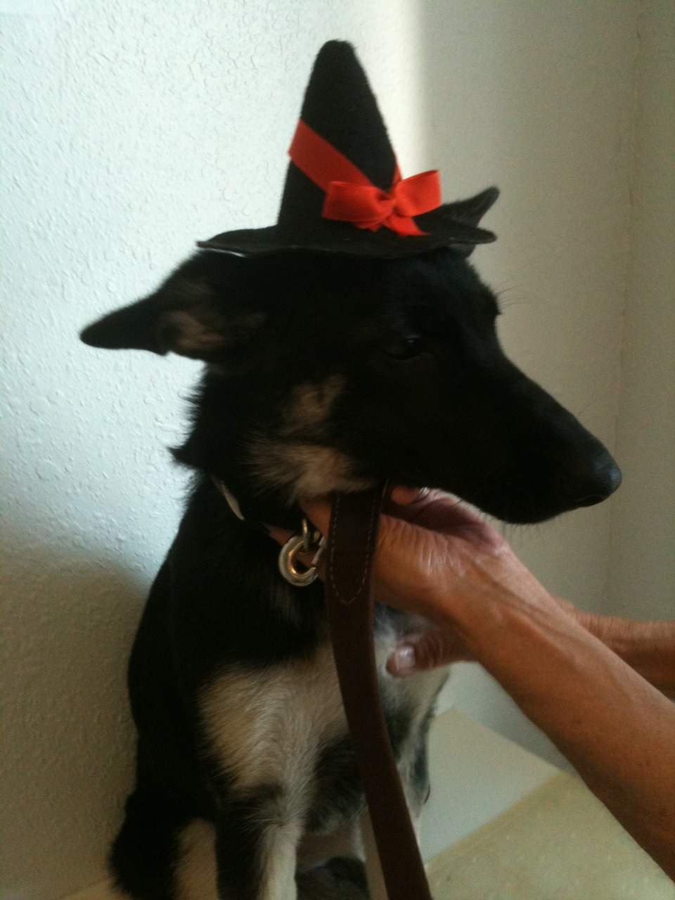 """To mark the time of year when people start putting funny costumes on their pets, I present """"Shorty in a hat."""" Quite understated I think. Email us your photos of your pet's Halloween costume to info@dirty-dog.com and we'll share them with the world. There might just be something in it for the cutest one! Be sure to include your pet's info (name, breed, age, etc)."""