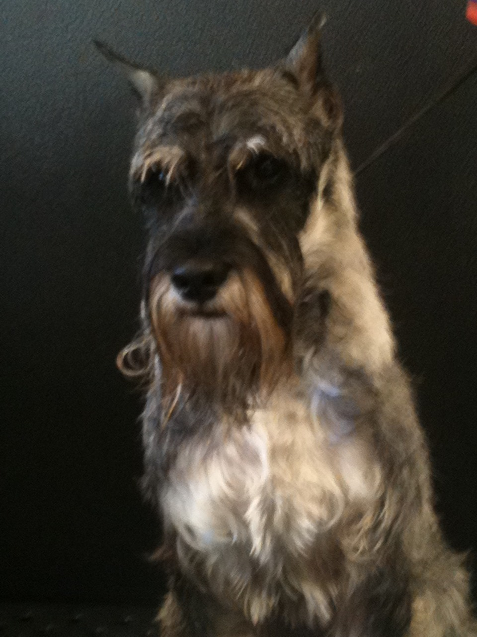 This cool dog is Franklin and he's a Standard Schnauzer who is also a champion show dog!!