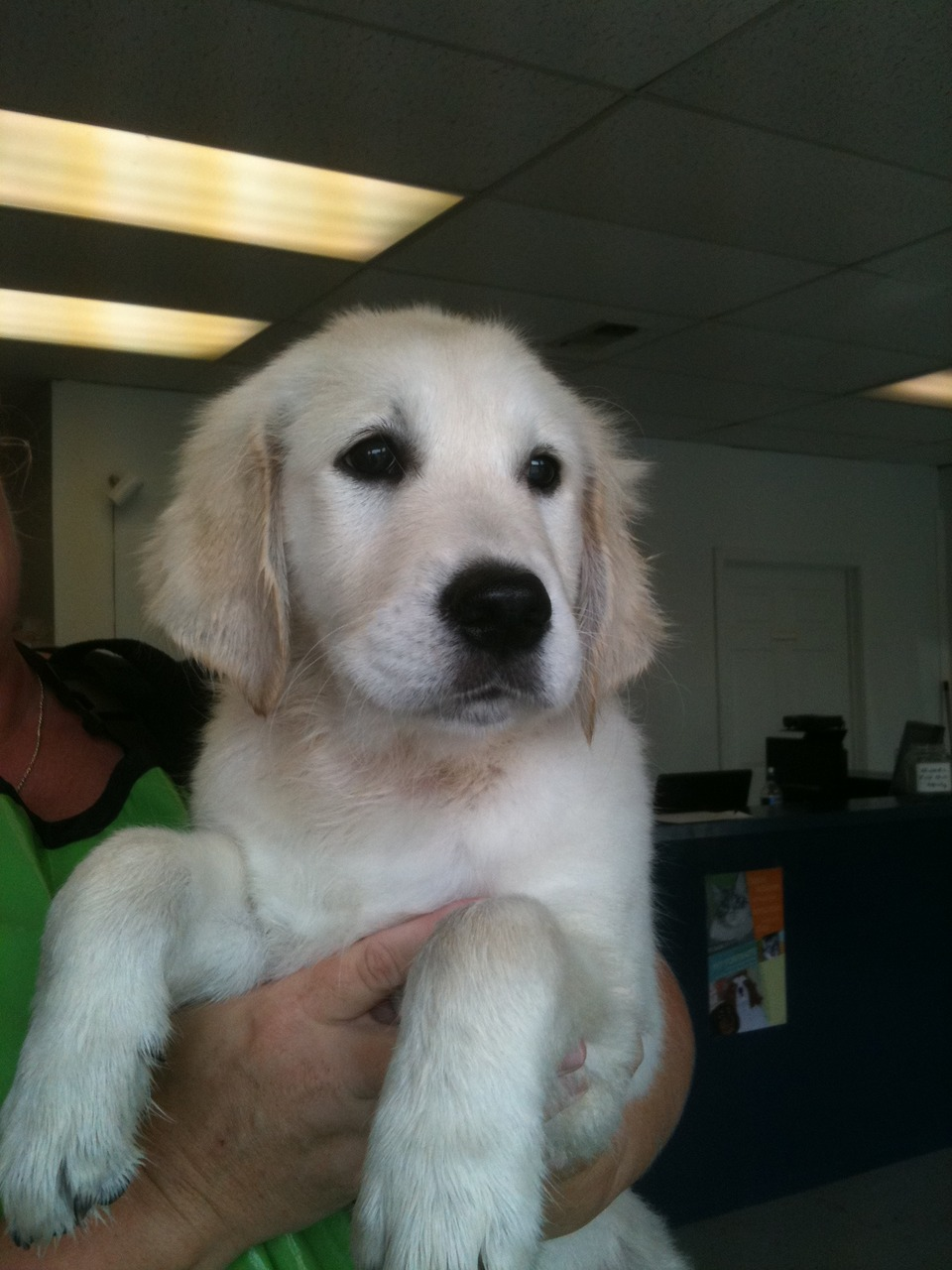 "Bella is a 12 week old ""European cream"" golden retriever. I tried to steal her, but her owner noticed :)"