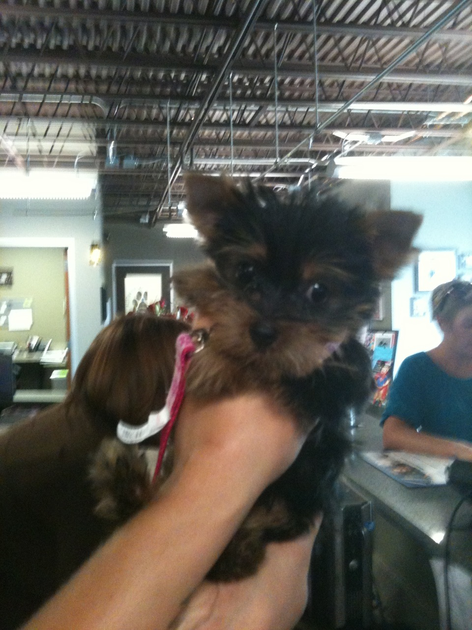 OMG. 7 week old teacup Yorkie, Bella. Holding her makes up for a LOT.