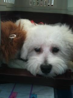 Jax-bichon puppy :)