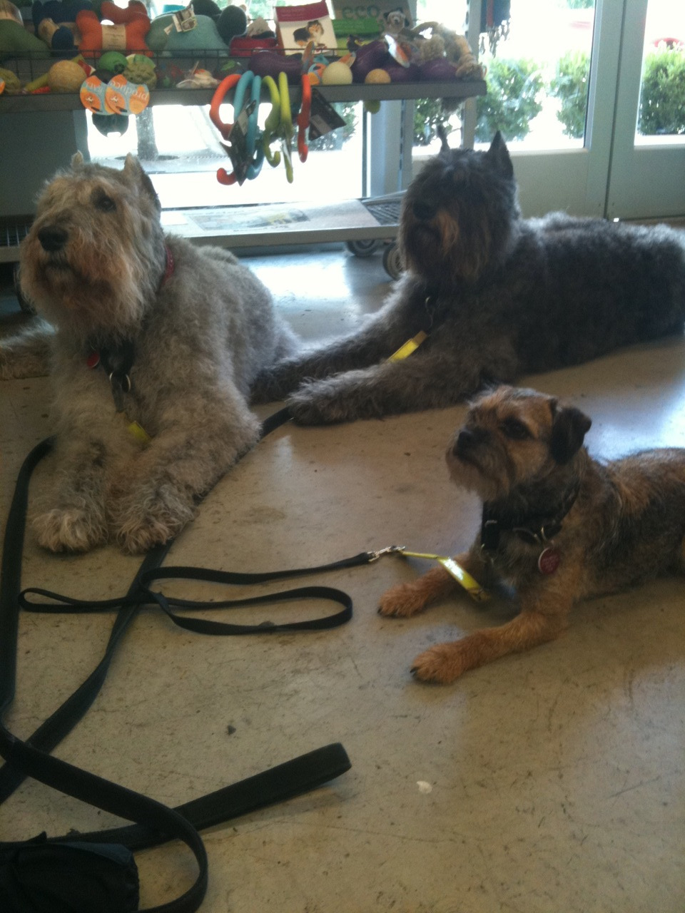 Ponzi, Heidi, and Bridget. Notice the toys JUST above their heads–these are some GREAT dogs :)