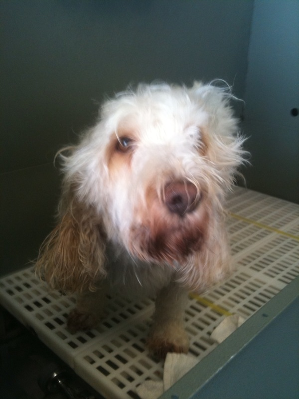 If you've never met a PBGV, you should! This is former show dog, Blondie :)
