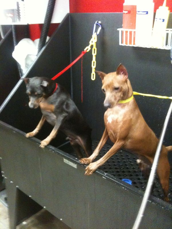 Boone and Bogey, little Min Pin brothers who turn a year old tomorrow!! So cute :)