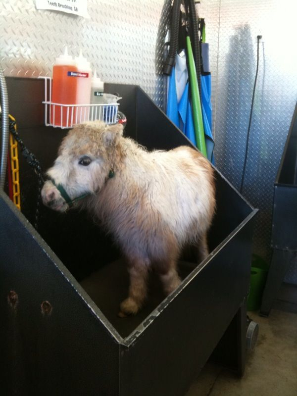 MINI HORSE in the house! More pics to come later. Enjoy!