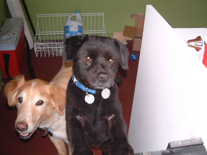 meet the mutts, part one: {note: this picture was taken right after they'd both had their summer haircuts about 6 years ago…} Sam (Golden retriever/collie mix) born 12/01/1994 I got Sam when I was at a no-kill shelter in Phoenix looking for a missing cat. I made the mistake (?) of walking through the dog side only to be greeted by 50 visiously barking dogs. Except one. Sam was wagging his tail, doing flips and in general trying to get my attention and get me to realize how cute he was. Well, it worked. They told me he could climb chain-linked fences but I told them I had a solid 6 foot fence so it would be fine. He then spent the next 10 years easily flying over said fence. He also had EXTREME separation anxiety which led to me getting him a Christmas present: Ollie (Chow/something small and sweet) born 11/01/1995 I adopted Ollie from the same no-kill shelter asSam when he was but a wee ball of fur. Once Ollie came home, Sam's separation issue disappeared immediately. Ollie turned out to be one of the best dogs I've ever met: confident, but unassuming and HIGHLY coveted by everyone that has ever met him, even by my non-dog-loving friends. He's just a cool dog.