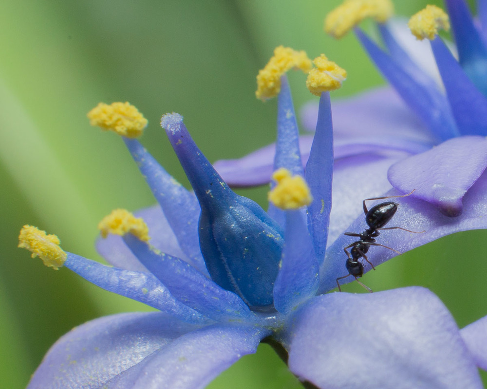 Ant on Peruvian Squill - Omesh Singh.jpg