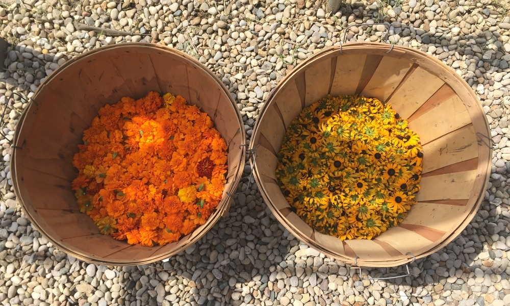 Harvesting Marigold and Black Eyed Susans