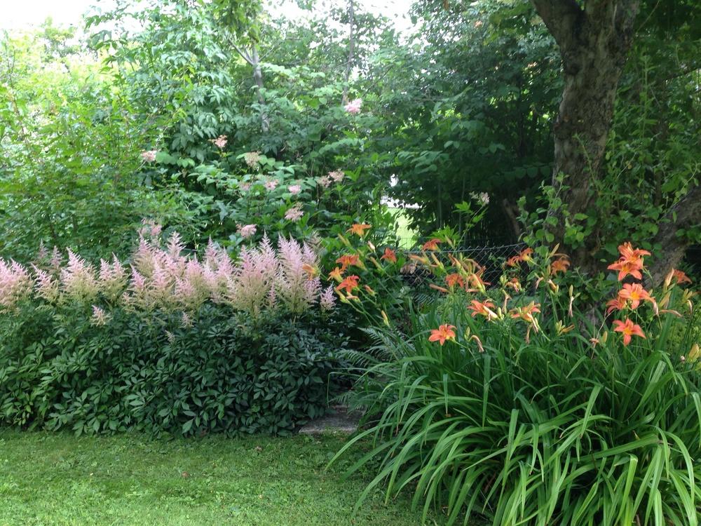 Del I) I bakgrunden Amerikanskt älggräs, Filipendula rubra 'Venusta', rosa astilbe, Astilbe arendsil 'Erika' , orange dagliljor.