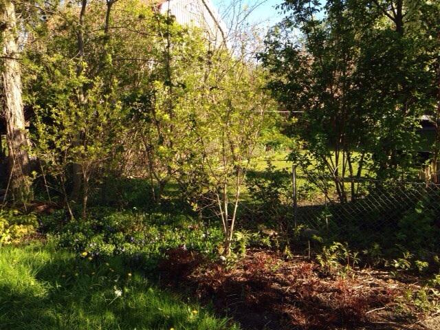 Del I) Ginnalalönnens blad har precis spruckit ut. Astilben och det amerikanska älggräset har en bit kvar.