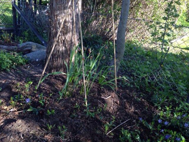Grå klocklilja, ' Fritillaria uva-vulpis'   i sällskap av  vintergröna.