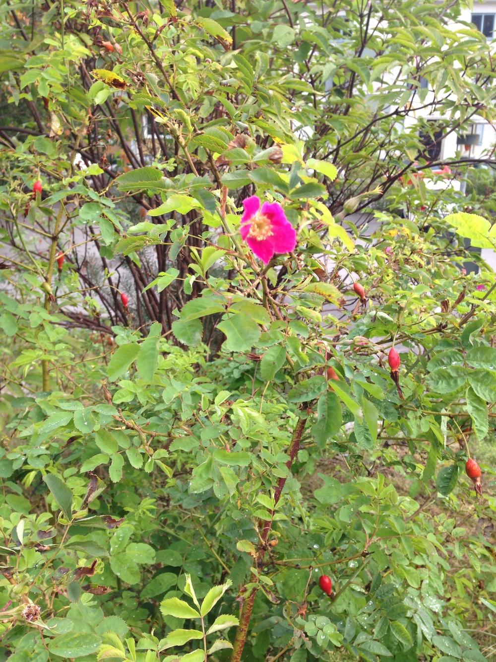 Numera får jag alltför sällan njuta av att rosorna får vackra röda nypon på hösten.