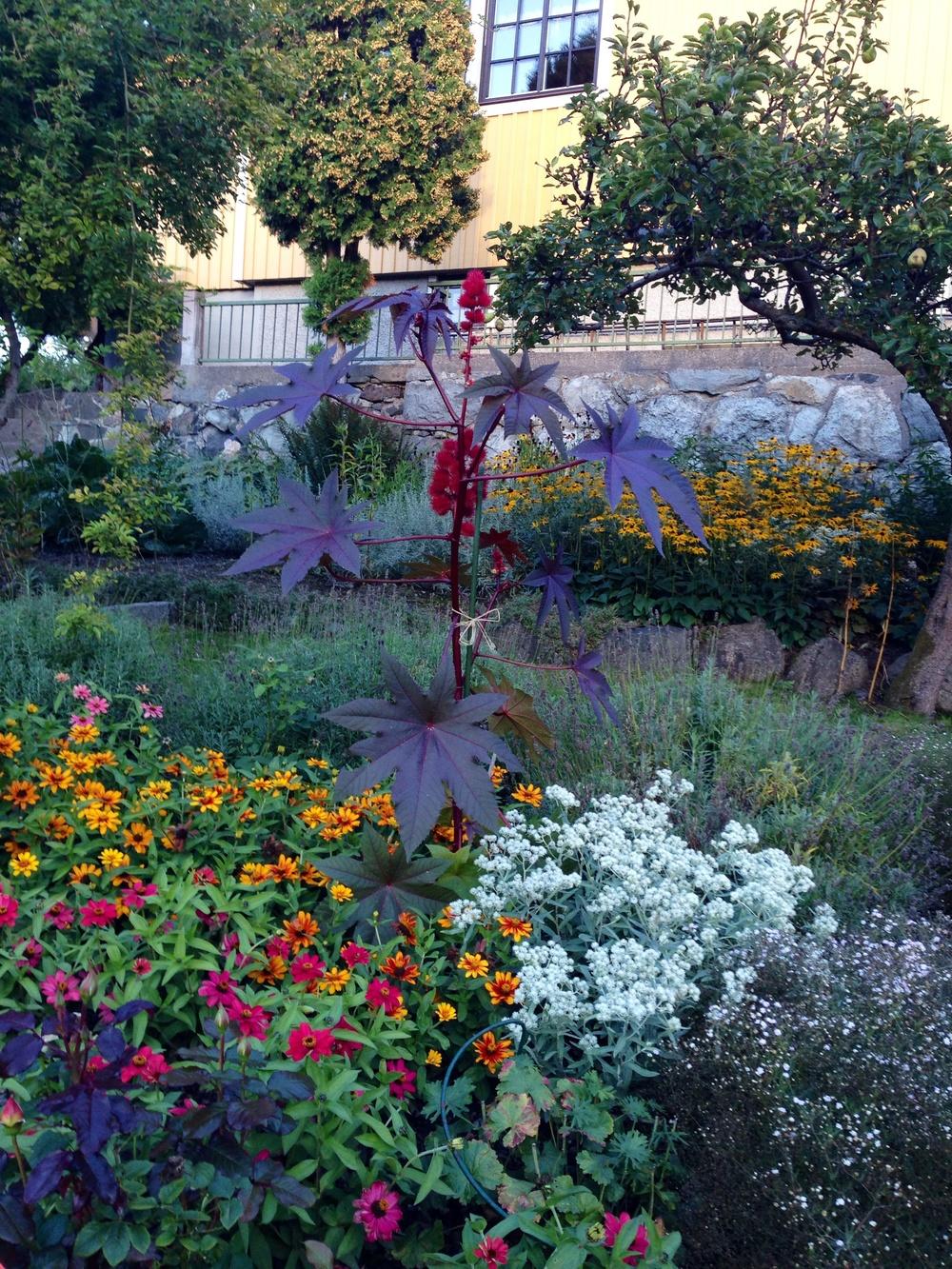 I vårt villakvarter finns den här välskötta trädgården som alltid bjuder på en härlig färgexplosion. Tror ni inte att mitt bland blomsterhavet så sticker en magnifik ricin upp. Visst är den läcker!