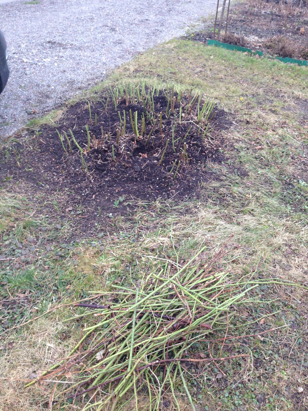 Även den stora mörkrosa buskrosen som växer som en solitär på gräsmattan är nu helt nerklippt.