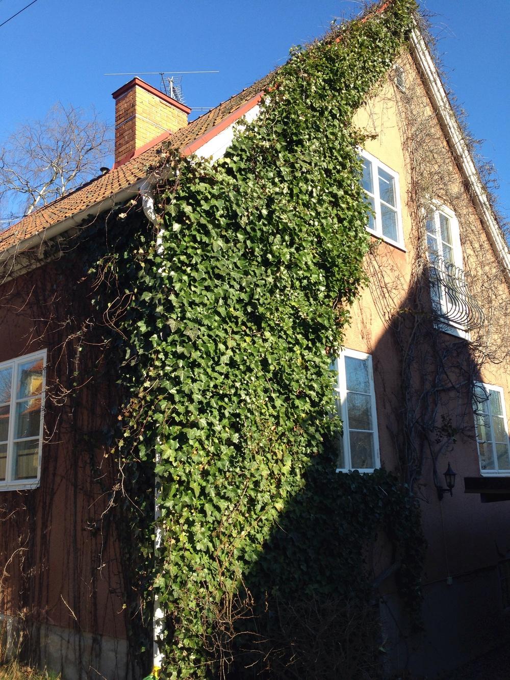 Ett äldre brunrosa putsat hus med murgröna som nästan täcker hela gaveln.