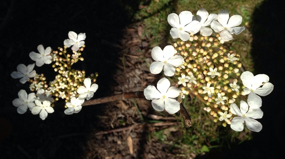 Japanskt Gaffelolvon har ett vackert gaffelformat grenverk och blommar i vitt på våren.