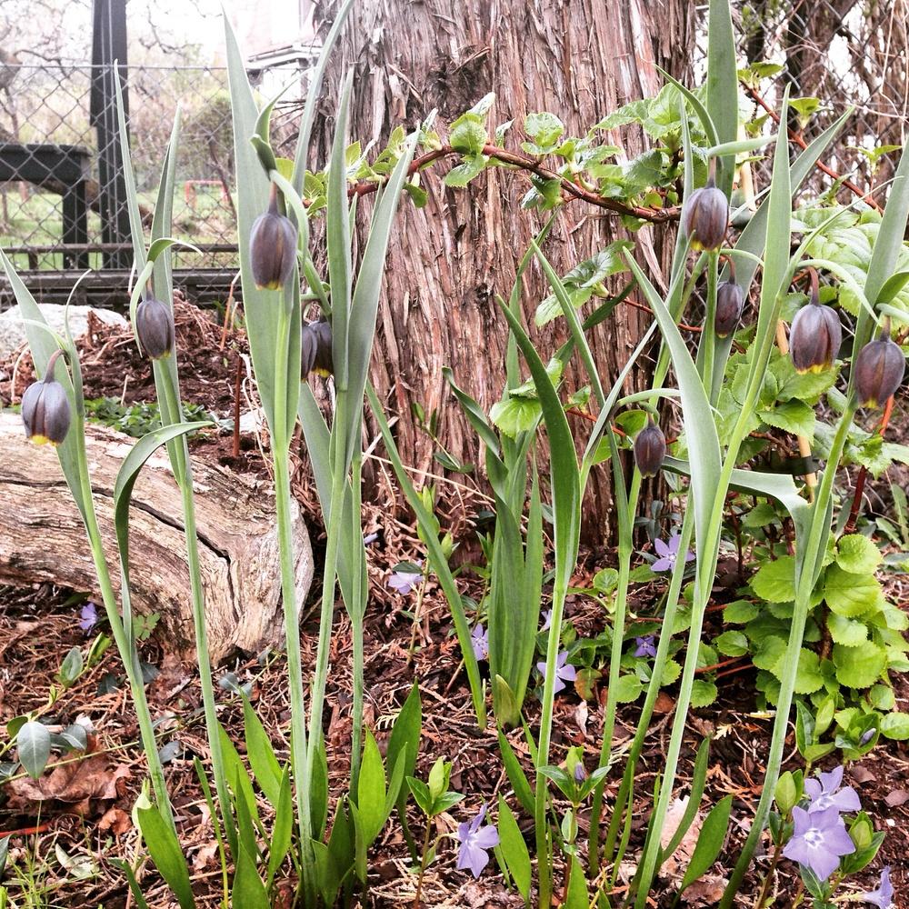 Grå klocklilja, '  Fritillaria uva-vulpis'  i sällskap avvintergröna