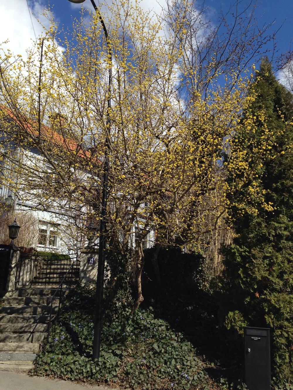Ett gammalt träd av Körsbärskornell,  Cornus mas  , i Gamla Äppelviken i Bromma
