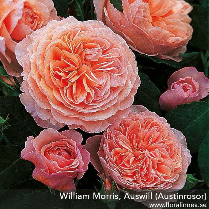 William Morris. Foto: Flora Linnea