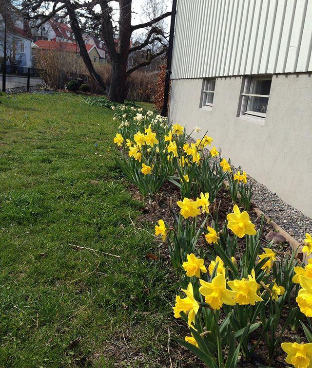 """När det kommer till plantering gäller sällan devisen """"less is more"""". Känner mig nu rätt nöjd över beslutet att plantera 10 istället för 1 påse narcisser.😀 [Spring bulbs """"en masse"""" at home] #påskliljorenmasse #vårblommor #vårlökar #narcissus"""