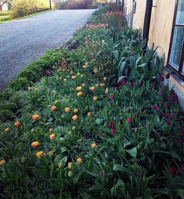 Det här kallar jag tulpanrabatt! [Beautiful Castle spring boarder] #ulfsundaslott #ulfsundaslottspark #ulfsundacastle #tulpaner #tulips