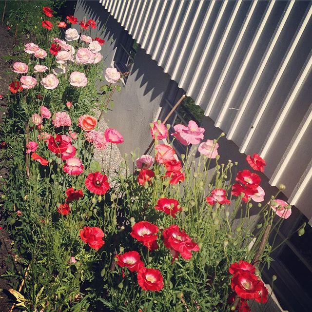 Tacksamt med självsådd vallmo!👍 [Lovely with self-popped Poppies]. #poppy #vallmo
