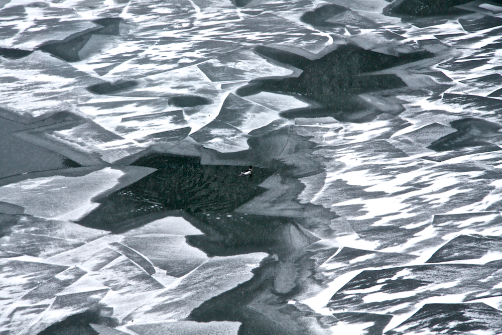 Duck in Ice - Chicago River, 2013.