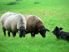 sheepdog2.jpg